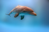 dolphins playing underwater close up diving