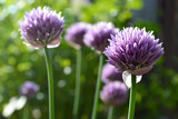 Chive flowers closeup - 122047270