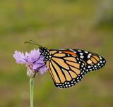 Danaus plexippus, Monarch butterfly, on a purple cornfloweragaoinst spring green background