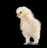 Adorable fluffy teddy bear looking baby chick against black background