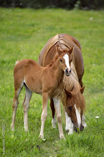 Arabian mare and Foal together at pasture