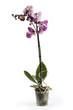 Куст орхидеи фаленопсис в горшке на белом фоне