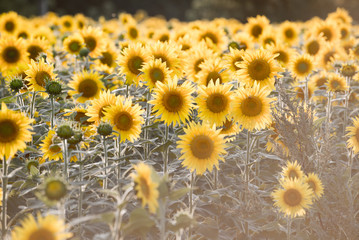 Field of blooming sunflowers at sunset, close-up