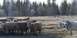 Herd of cattle on a farm, Manitoba, Canada