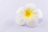 White artificial plumeria