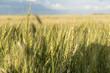 Crop in a field, Lorette, Manitoba, Canada
