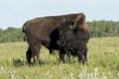 Bison standing in a field, Lake Audy Campground, Riding Mountain