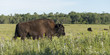 Bison walking in a field, Lake Audy Campground, Riding Mountain