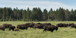 Herd of bison walking in a field, Lake Audy Campground, Riding M