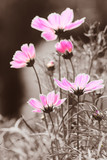 Bright-colored cosmos flowers in vintage black and white background.