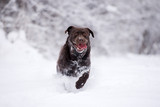 happy labrador dog running in the snow