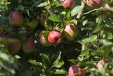 Apfelbaum mit Pilotäpfeln