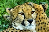 Lying cheetah (gepard) with a partner beholds a prey
