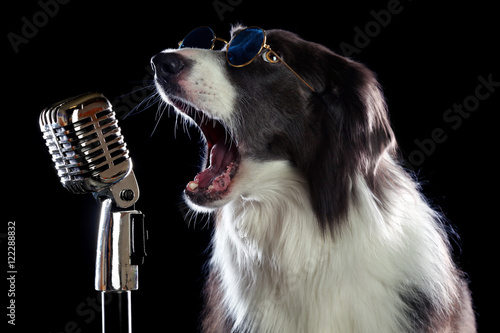 Póster Beatiful border collie dog singing into a microphone