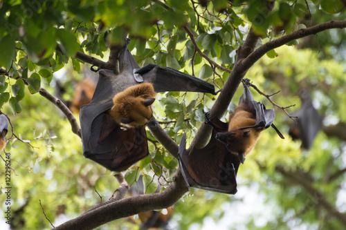 Staande foto Kip big bat chicken sleep on the tree