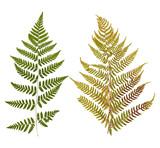 Set of wild dry leaf fern pressed, isolated