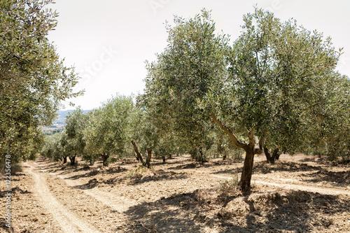 Tuinposter Olijfboom Olive trees in the Mediterranean