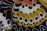 Fototapety Closeup The Leopard Lacewing (Cethosia cyane euanthes Fruhstorfer)wing, butterfly wing detail texture background