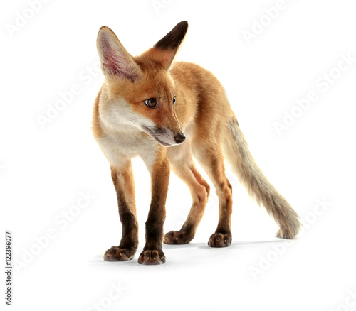 Cute fox cub isolated on white