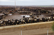 Black and white cows crowded in a muddy feedlot