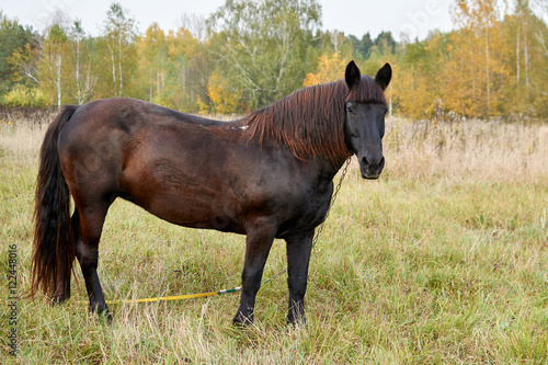 beautiful brown horse stands in a meadow Sunny autumn day turning his head