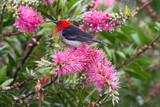 Scarlet Honeyeater male
