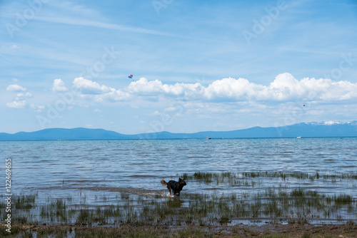 Póster Black dog running in shallow water at Lake Tahoe beach