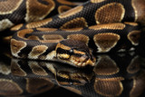 Close-up Ball or Royal python Snake on Isolated black background with reflection