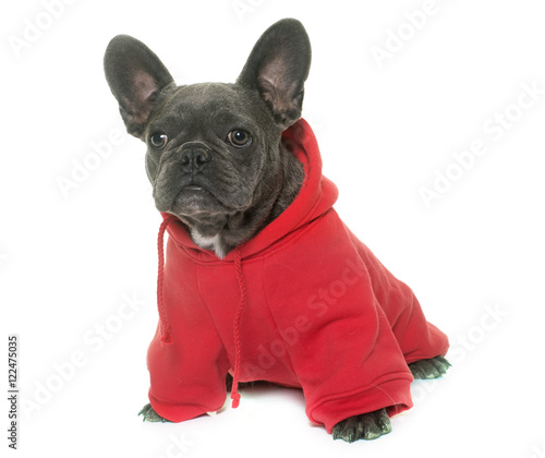 Deurstickers Franse bulldog dressed puppy french bulldog