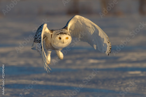 Snowy owl hunting over a snow covered field at sunset