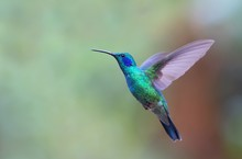 Green violetear hummingbird in flight in Costa Rica