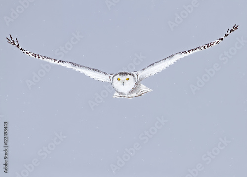 Snowy owl (Bubo scandiacus) isolated on a blue background flies low hunting over an open snowy field in Canada - 122498443