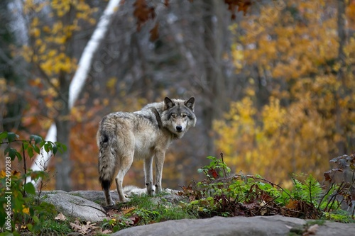 Timber wolf standing on a rocky cliff looking back in autumn Poster