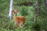 Fototapety White-tailed deer fawn in the forest