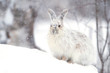 Snowshoe hare in the snow on a winter day