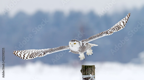 Snowy owl takes off from post in winter