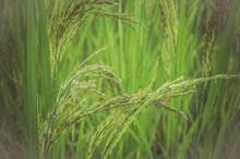 Ohr von Reis in grünem Hintergrund.