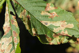 The leaves of chestnut.