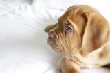 Dogue de Bordeaux, French Mastiff, puppy on bed. Good night!