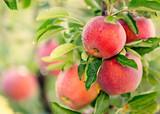 Apple tree - 122707848