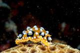 Colorful chromodoris nudibranch close up macro detail in indonesia
