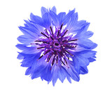Blue cornflower head