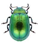 Beetle Plagiosterna aenea on a white background