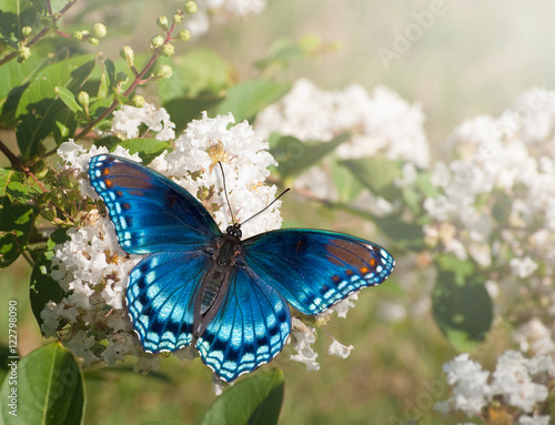 Red Spotted Purple Admiral butterfly feeding on white Crape myrtle flower cluster