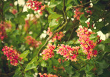 Spring blooming pink chestnut tree flowers, nature background