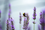Bumblebee on Beautiful Lavender blooming in early summer