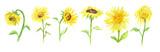Fototapety Watercolor sunflower set on white background. Summer flower. Beautiful garden illustration.