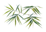 Watercolor illustration painting of bamboo leaves , on white background - 122839066
