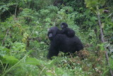 Wild Gorilla animal Rwanda Africa tropical Forest - 122845047