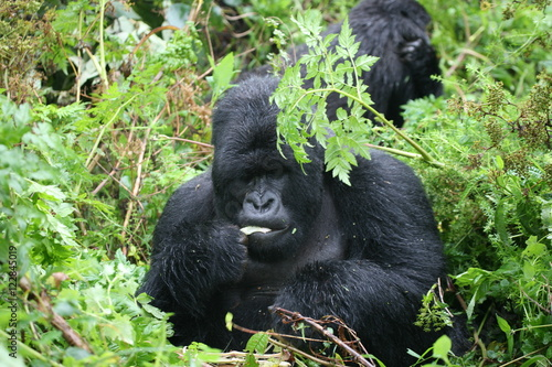 Poster Wild Gorilla animal Rwanda Africa tropical Forest